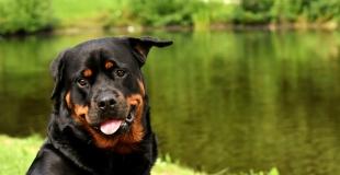 Assurance chien de 1ère ou 2ème catégorie : simulation et tarif